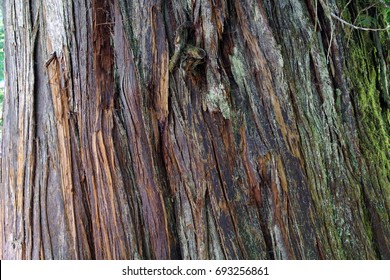 Detail of bark on huge  Western Red cedar  ( Thuja plicata ) Grove of the patriarchs, Ohanapecosh, Mount Rainier National Park, Washington