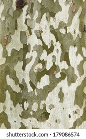 Detail of bark in plane tree, Platanus acerifolia