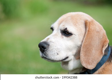 detail of beagle head on green background