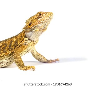 Detail of Bearded dragon (pogona) on white background