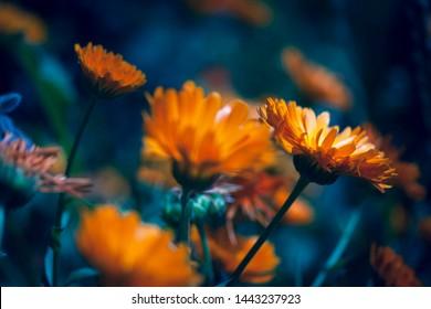 Detail of a beautiful orange flower in a flower field in the summer