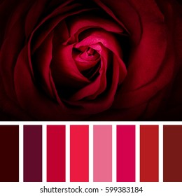 Detail of a beautiful scarlet rose, in a colour palette with complimentary colour swatches.