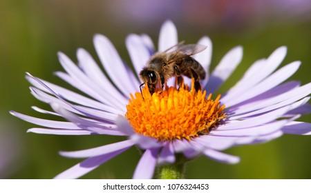 detail of bee or honeybee in Latin Apis Mellifera, european or western honey bee sitting on the violet or blue flower