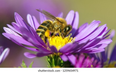 detail of bee or honeybee in Latin Apis Mellifera, european or western honey bee sitting on the yellow violet purple or blue flower