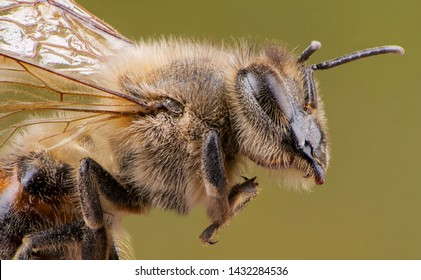 detail of bee or honeybee in Latin Apis Mellifera, european or western honey bee isolated on the green background, golden honeybee