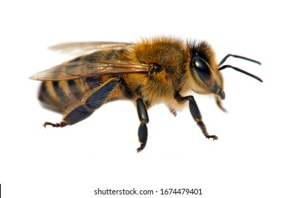 detail of bee or honeybee in Latin Apis Mellifera, european or western honey bee isolated on the white background