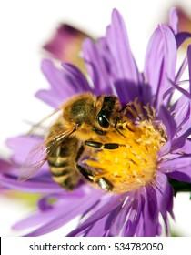 detail of bee or honeybee in Latin Apis Mellifera, european or western honey bee sitting on the violet flower isolated on white background, golden honeybee on flower