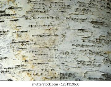 Detail of birch bark – background