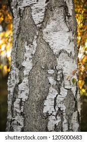 Detail of a birch tree at autumn, Gotland Sweden.