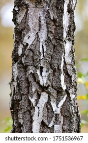Detail of a birch tree at autumn, Gotland Sweden.