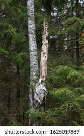 A detail of birch tree in deep forest near Stockholm, Sweden