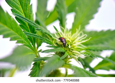 Detail of black ladybug crawling on a cannabis plant isolated over white background