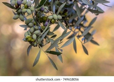 Detail of black olives on branch of olive tree (Olea europaea) on greek countryside in Peloponnesos