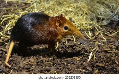 Detail of the Black and rufous elephant shrew inside the zoo of antwerp.