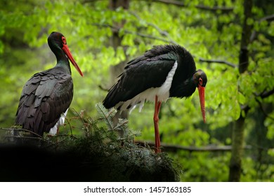 Detail of black stork. Wildlife scene from nature. Bird Black Stork with red bill, Ciconia nigra, sitting on the nest in the forest. Black and white bird with red bill. Pair of birds in the forest nes