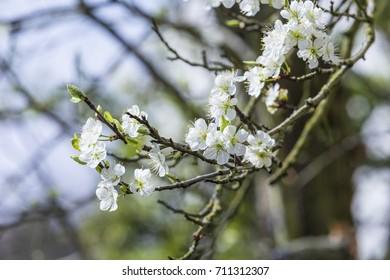 detail of blooming apple tree under blue sky