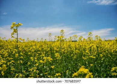 Detail of blooming yellow rapeseed field under blue sky during the summer in Collingwood, Ontario