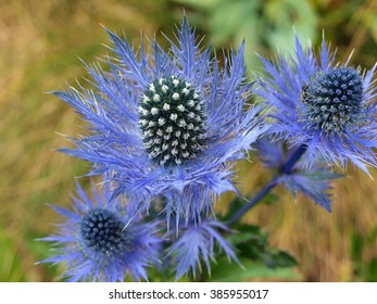 detail of blue flower thistle on meadow