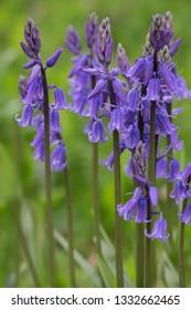 Detail of Bluebell flowers
