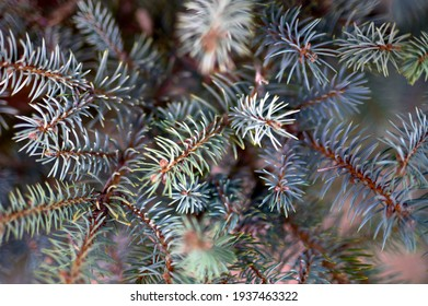 detail of the bluish leaves and branches of a blue spruce in a park or garden