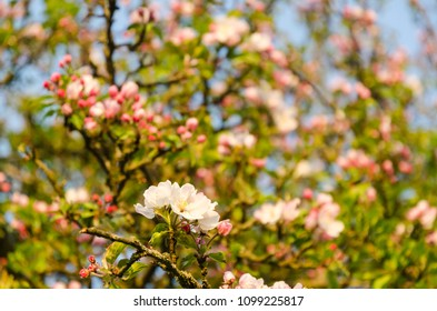 Detail from a bright blossom apple tree