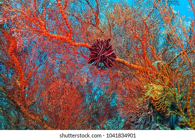 Detail of bright red coral with purple sea lily. Underwater photography on the coral reef. Scuba diving in the tropical ocean with aquatic life.