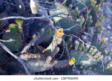 Detail of cactus in bloom