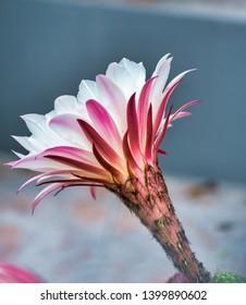 detail of cactus flower ina garden