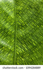 Detail of a Calathea Musaica or Network leaf.