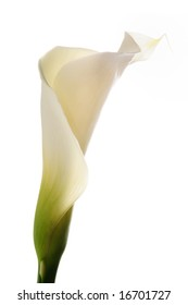 Detail of calla lily flower isolated over white background