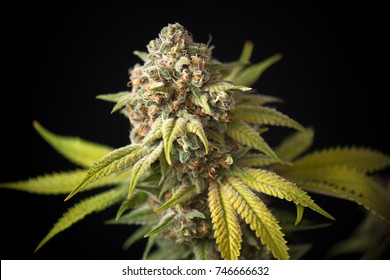 Detail of cannabis cola (Thousand Oaks marijuana strain) with visible trichomes and leaves on late flowering stage - isolated over black background