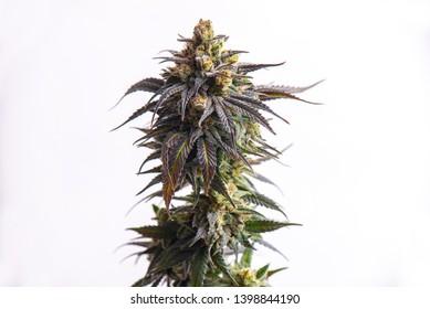Detail of Cannabis flower (CBD dream strain) isolated over white background, medical marijuana concept