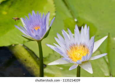 Detail of cape waterlily being pollinated. Australia.