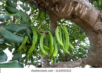 Detail of Carob tree with bunch of carob beans