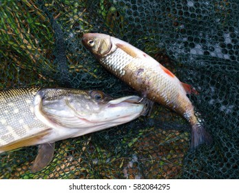 Detail of caught pike and small fish used as a bite still on hook in mouth of pike, net and grass i background, hunting and fishing in nature for wild animals, brown eyes