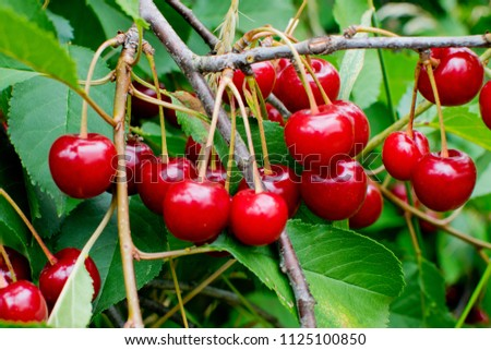 Detail of cherry tree with red fruits