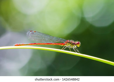 Detail closeup of a large red damselfly Pyrrhosoma nymphula, resting in the sun