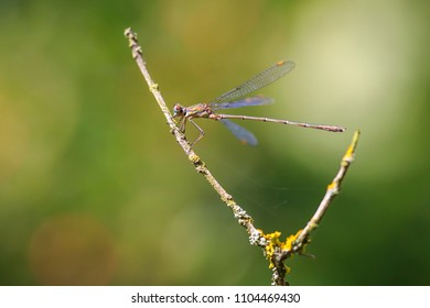 Detail closeup of a western willow emerald damselfly, Chalcolestes viridis, insect resting in the sun