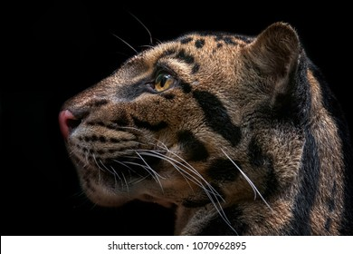 Detail of clouded leopard on balck background