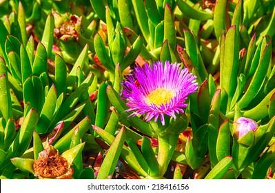 Detail of coastal wildflowers in point Reyes national Seashore. California.