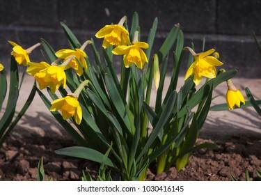 Detail of colorful narcissi flower arrangement