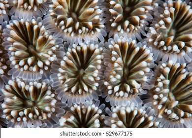 Detail of coral polyps (Galaxea sp.) growing in Komodo National Park, Indonesia. This region harbors extraordinary marine biodiversity and is a favorite destination for divers and snorkelers.