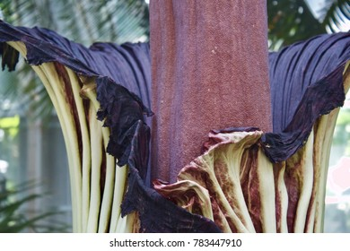 Detail of Corpse Flower