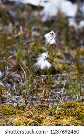Detail of cotton grass in autumn. Abisko National Park, Northern Sweden