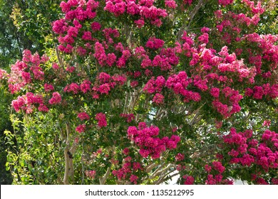 Detail of  crepe myrtle in blossom. Australia.