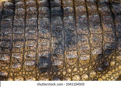 Detail of crocodile skin