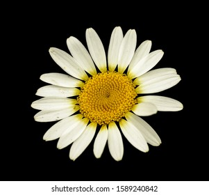 detail of daisy flower on black isolated