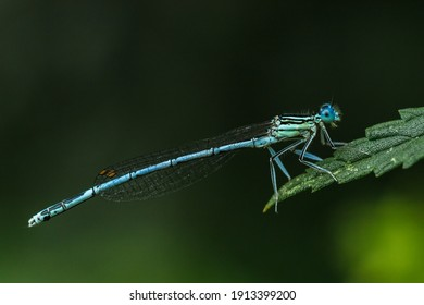 Detail of damsel fly Platycnemis pennipes sitting on grass. Photographed in forest near Danube river, Slovakia.