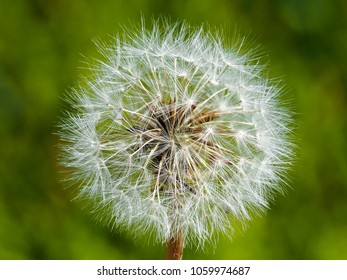 Detail of dandelion seeds head with green background