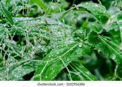 Detail of the dew on the green leaves in the field